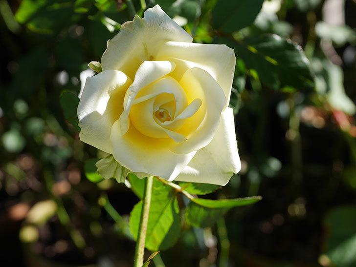 インフィニティローズ (Infinity Rose)の秋花が咲いた。ミニバラ。2020年-002.jpg
