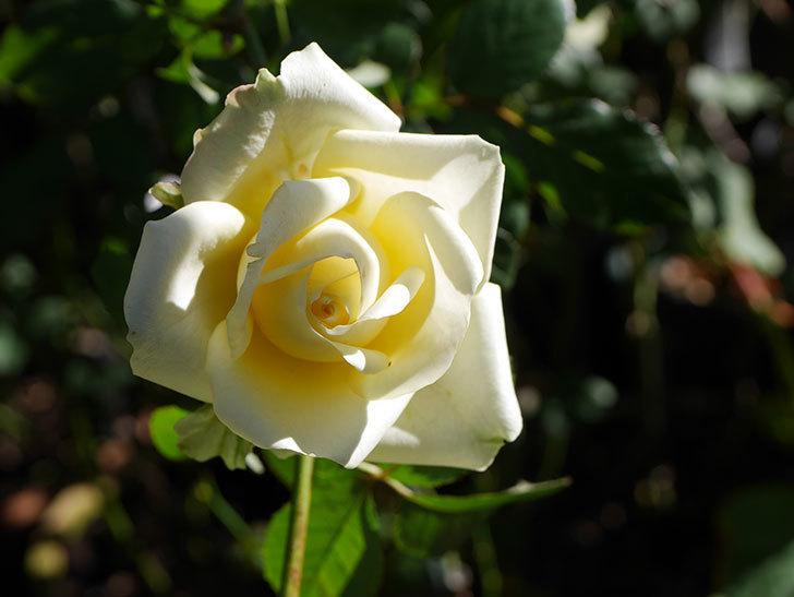 インフィニティローズ (Infinity Rose)の秋花が咲いた。ミニバラ。2020年-003.jpg