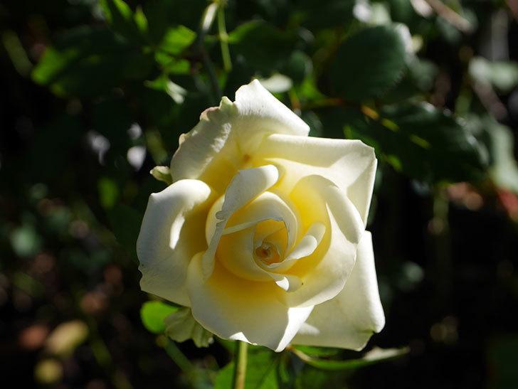 インフィニティローズ (Infinity Rose)の秋花が咲いた。ミニバラ。2020年-004.jpg