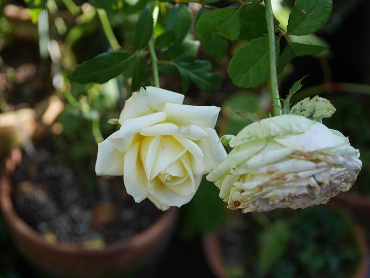 インフィニティローズ (Infinity Rose)の秋花が咲いた。ミニバラ。2020年-005.jpg