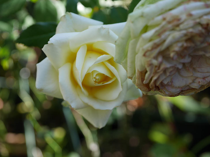 インフィニティローズ (Infinity Rose)の秋花が咲いた。ミニバラ。2020年-006.jpg