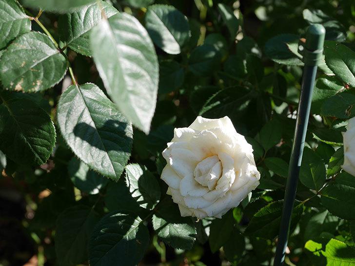 インフィニティローズ (Infinity Rose)の秋花が咲いた。ミニバラ。2020年-007.jpg