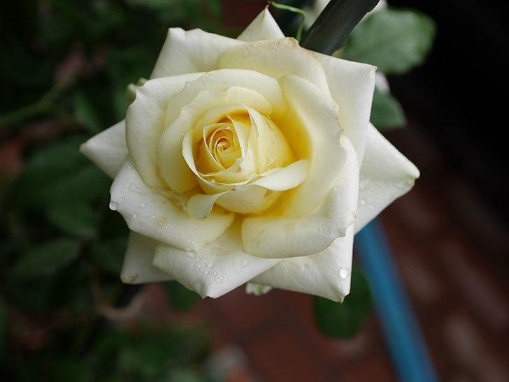 インフィニティローズ (Infinity Rose)の秋花が咲いた。ミニバラ。2020年-008.jpg