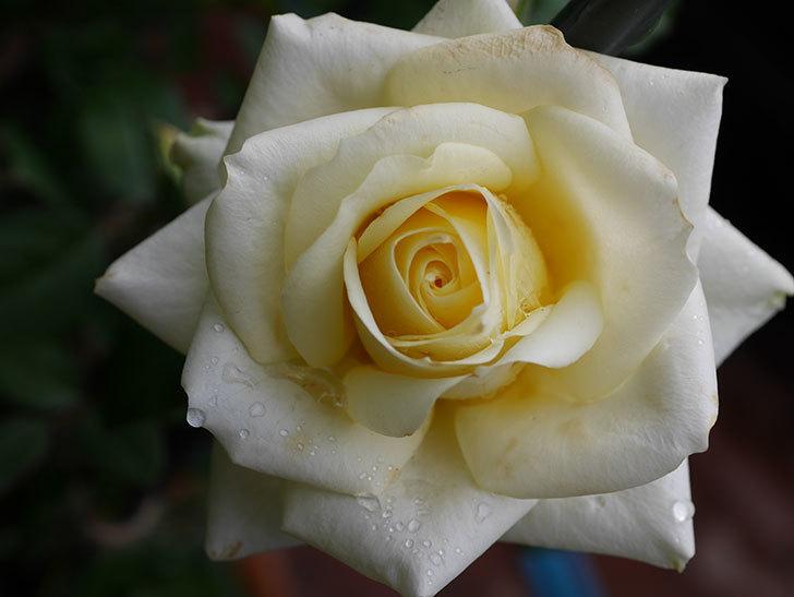 インフィニティローズ (Infinity Rose)の秋花が咲いた。ミニバラ。2020年-009.jpg