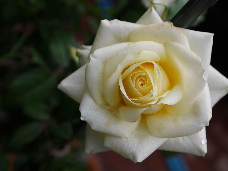 インフィニティローズ (Infinity Rose)の秋花が咲いた。ミニバラ。2020年-010.jpg