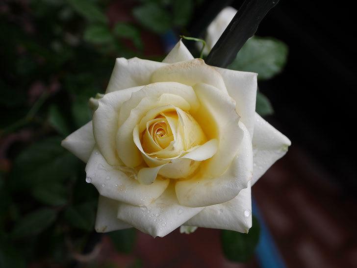 インフィニティローズ (Infinity Rose)の秋花が咲いた。ミニバラ。2020年-012.jpg