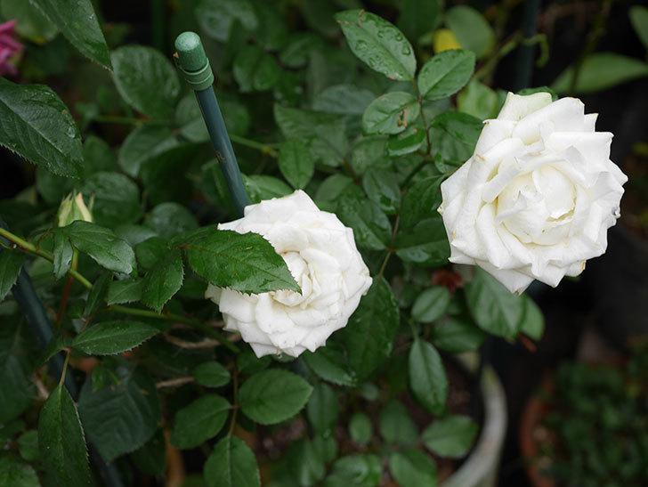 インフィニティローズ (Infinity Rose)の秋花が咲いた。ミニバラ。2020年-013.jpg