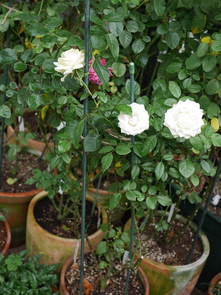 インフィニティローズ (Infinity Rose)の秋花が咲いた。ミニバラ。2020年-014.jpg