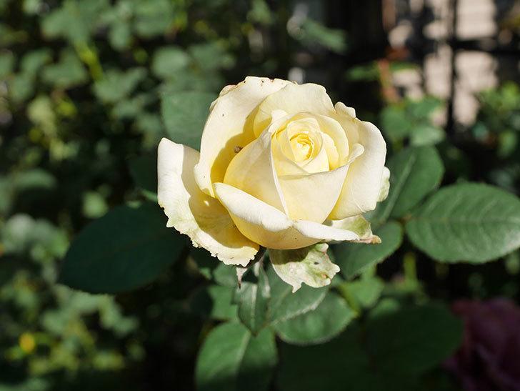 インフィニティローズ (Infinity Rose)の秋花が咲いた。ミニバラ。2020年-015.jpg