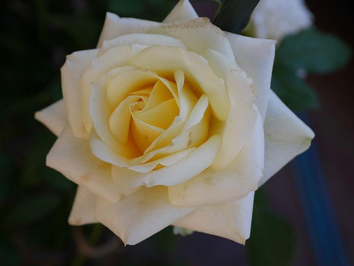 インフィニティローズ (Infinity Rose)の秋花が咲いた。ミニバラ。2020年-016.jpg
