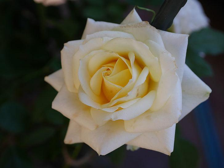 インフィニティローズ (Infinity Rose)の秋花が咲いた。ミニバラ。2020年-017.jpg