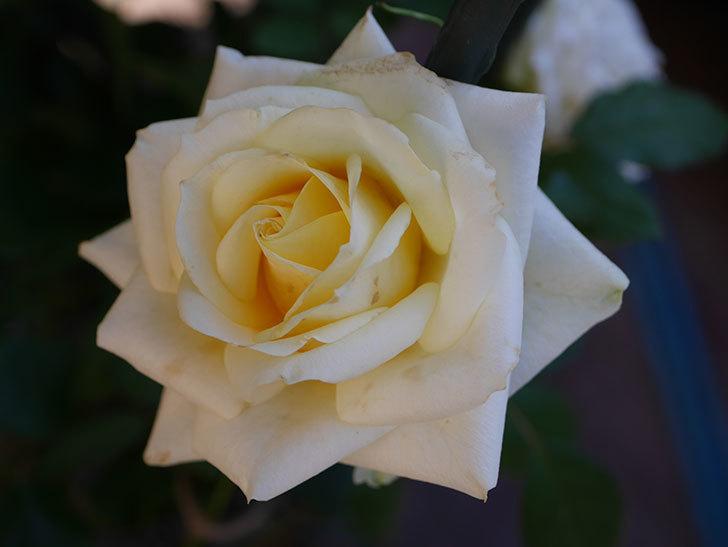 インフィニティローズ (Infinity Rose)の秋花が咲いた。ミニバラ。2020年-018.jpg