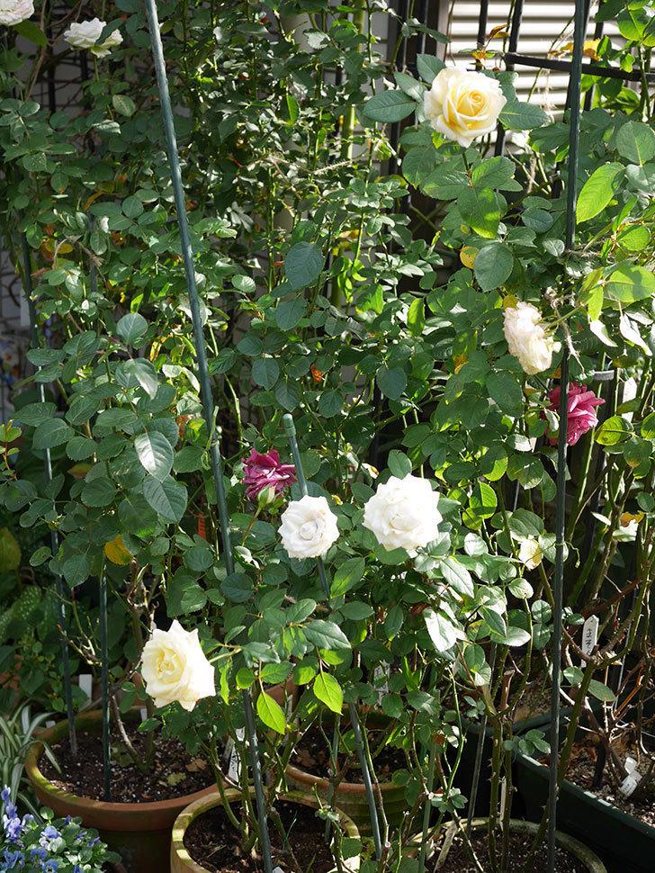 インフィニティローズ (Infinity Rose)の秋花が咲いた。ミニバラ。2020年-019.jpg