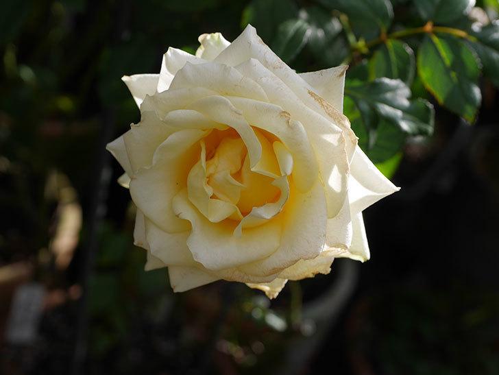 インフィニティローズ (Infinity Rose)の秋花が咲いた。ミニバラ。2020年-020.jpg