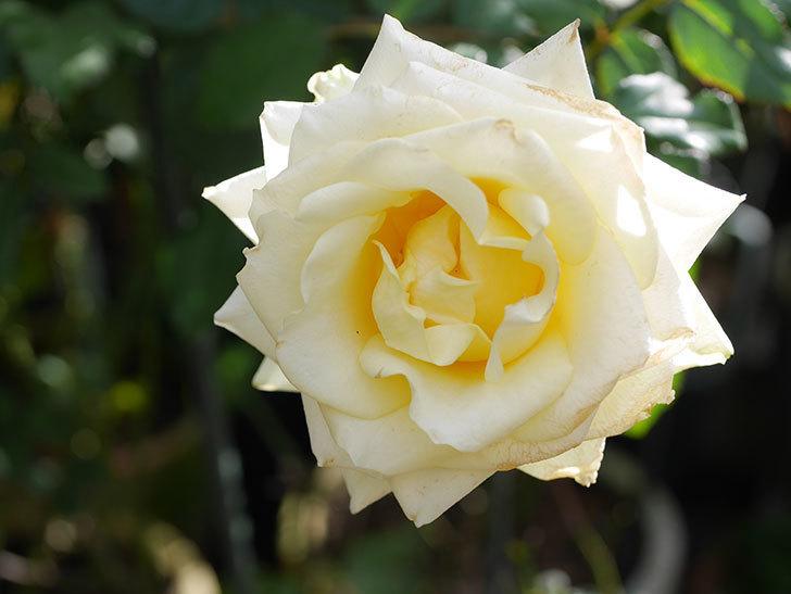 インフィニティローズ (Infinity Rose)の秋花が咲いた。ミニバラ。2020年-021.jpg