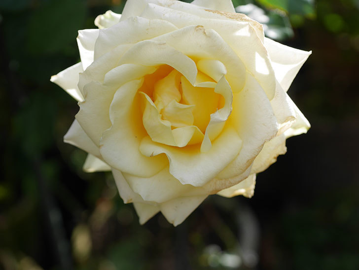 インフィニティローズ (Infinity Rose)の秋花が咲いた。ミニバラ。2020年-022.jpg