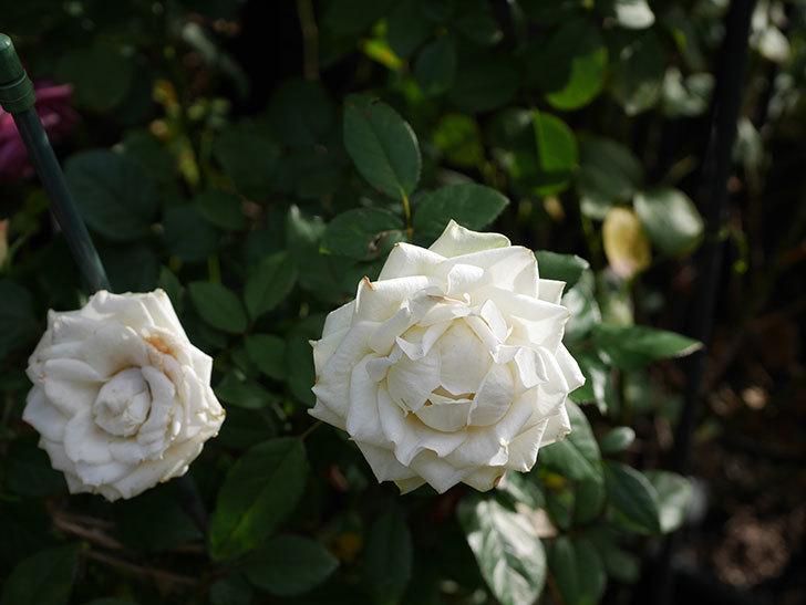 インフィニティローズ (Infinity Rose)の秋花が咲いた。ミニバラ。2020年-023.jpg