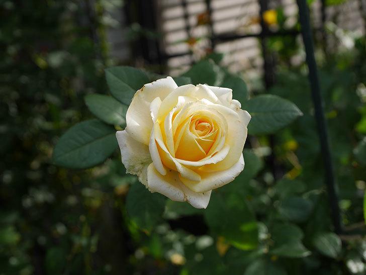 インフィニティローズ (Infinity Rose)の秋花が咲いた。ミニバラ。2020年-024.jpg