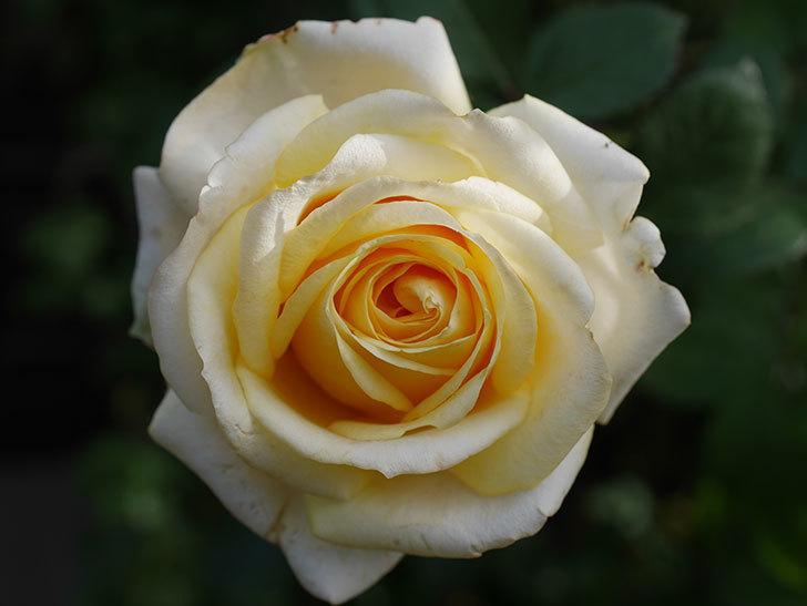 インフィニティローズ (Infinity Rose)の秋花が咲いた。ミニバラ。2020年-025.jpg