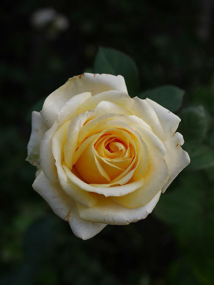 インフィニティローズ (Infinity Rose)の秋花が咲いた。ミニバラ。2020年-026.jpg