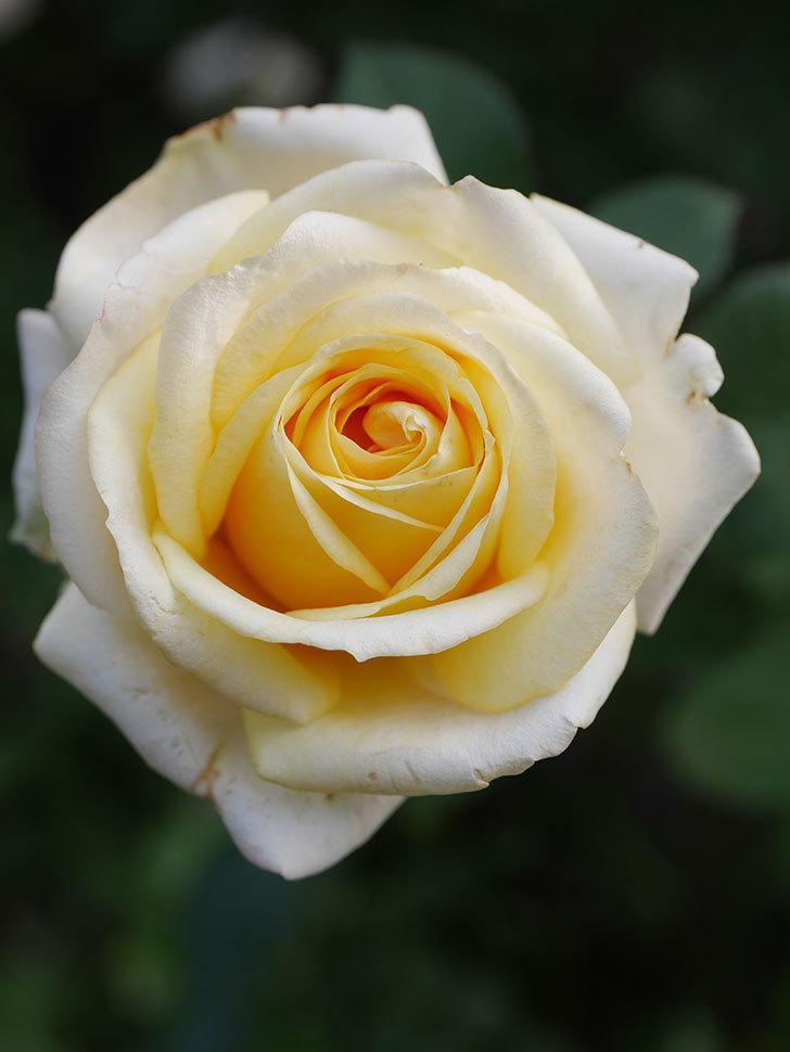 インフィニティローズ (Infinity Rose)の秋花が咲いた。ミニバラ。2020年-027.jpg