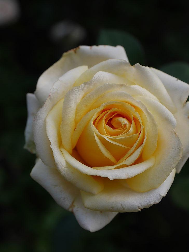 インフィニティローズ (Infinity Rose)の秋花が咲いた。ミニバラ。2020年-028.jpg