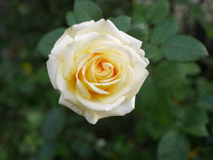 インフィニティローズ (Infinity Rose)の秋花が咲いた。ミニバラ。2020年-029.jpg