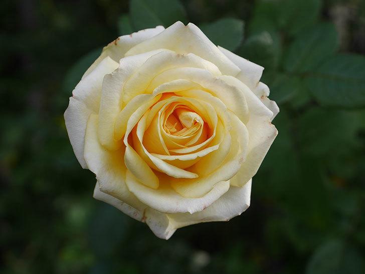 インフィニティローズ (Infinity Rose)の秋花が咲いた。ミニバラ。2020年-030.jpg
