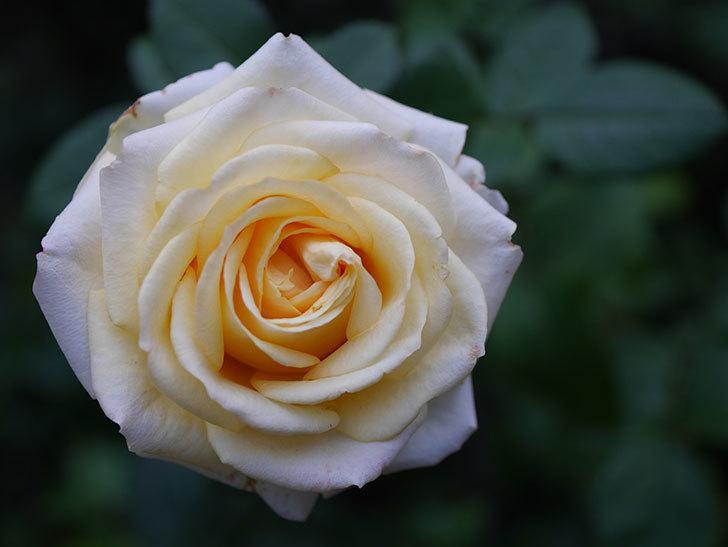 インフィニティローズ (Infinity Rose)の秋花が咲いた。ミニバラ。2020年-031.jpg
