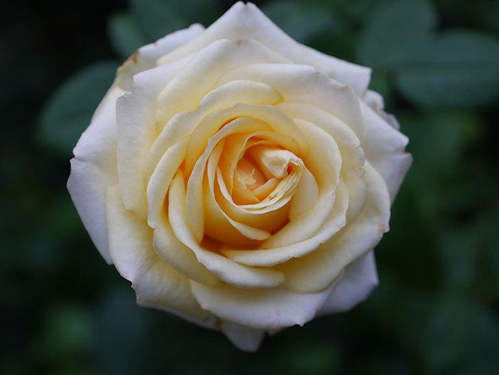 インフィニティローズ (Infinity Rose)の秋花が咲いた。ミニバラ。2020年-032.jpg