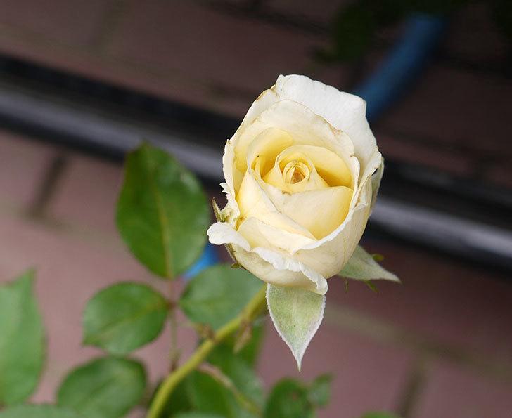 インフィニティローズ(ミニバラ)の2番花が咲き出した。2016年-1.jpg
