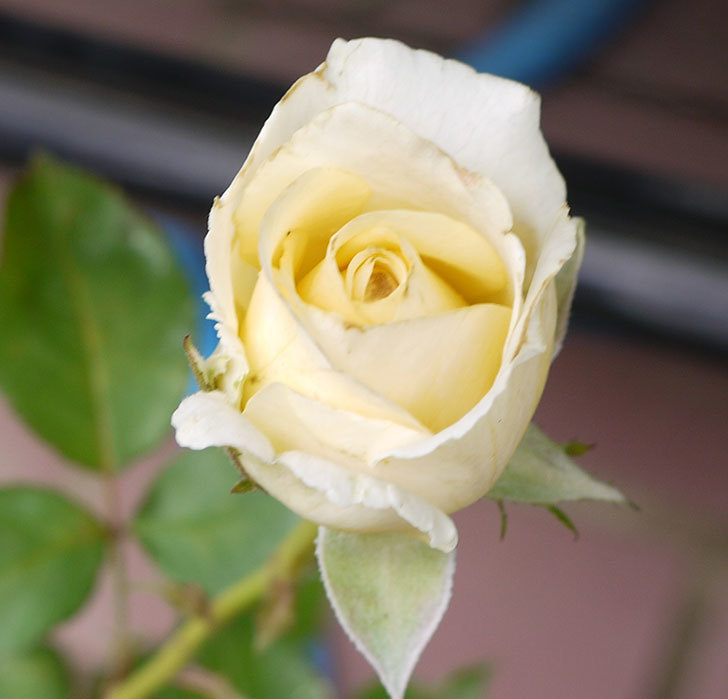 インフィニティローズ(ミニバラ)の2番花が咲き出した。2016年-3.jpg