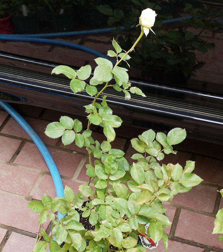 インフィニティローズ(ミニバラ)の2番花が咲き出した。2016年-4.jpg