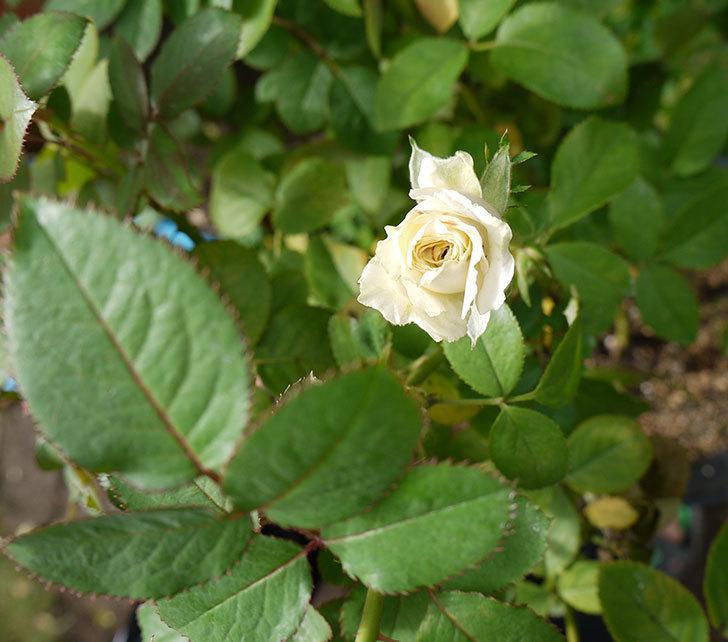 インフィニティローズ(ミニバラ)の秋花が咲きだした。2016年-2.jpg