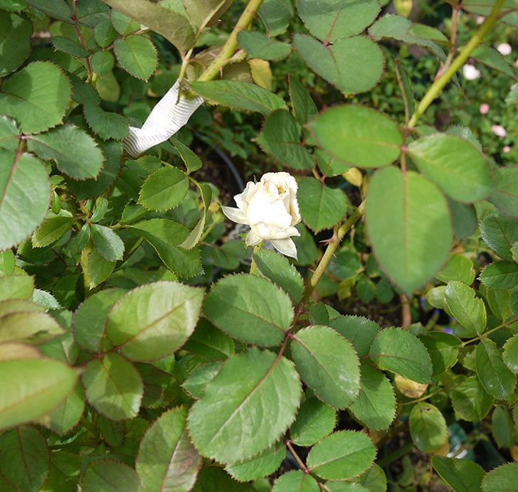 インフィニティローズ(ミニバラ)の秋花が咲きだした。2016年-3.jpg