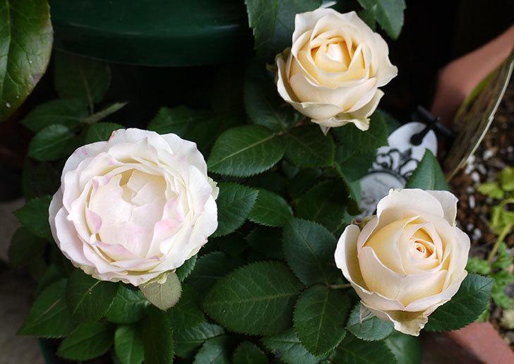 インフィニティローズ(ミニバラ)の花が3個咲いた。2016年-1.jpg