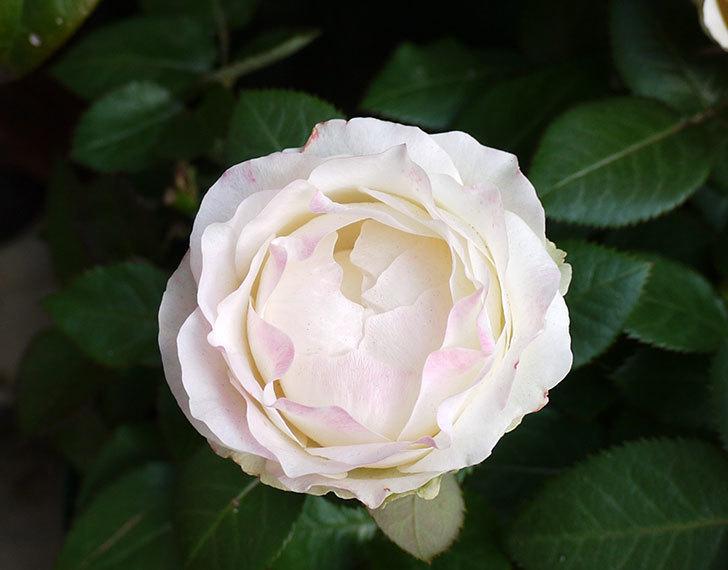 インフィニティローズ(ミニバラ)の花が3個咲いた。2016年-3.jpg