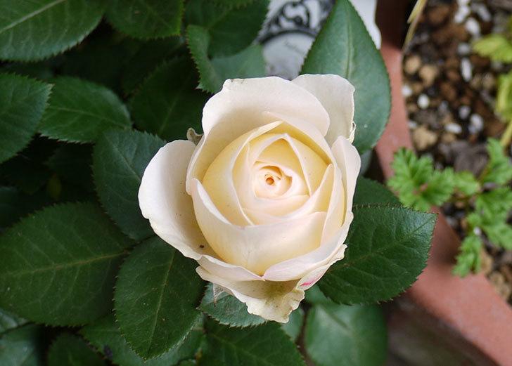 インフィニティローズ(ミニバラ)の花が3個咲いた。2016年-4.jpg