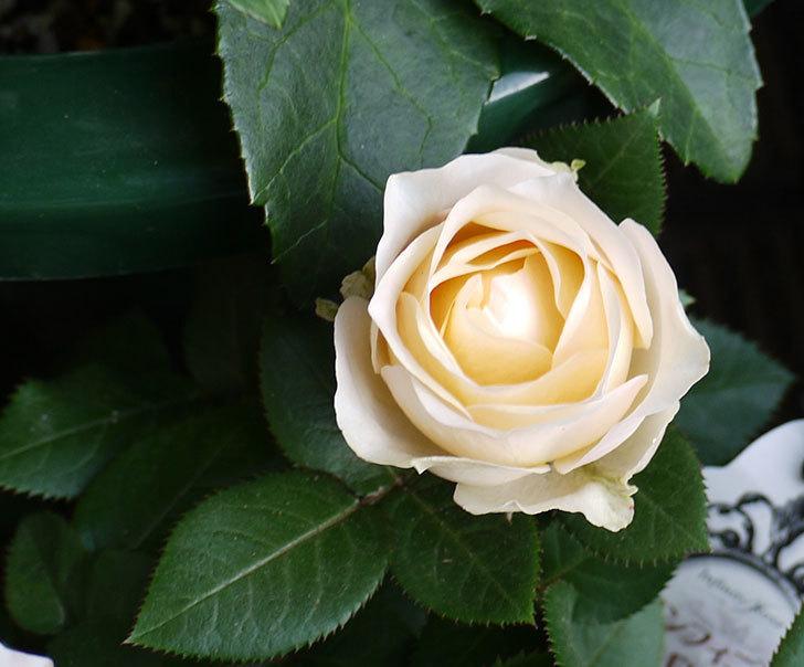 インフィニティローズ(ミニバラ)の花が3個咲いた。2016年-5.jpg