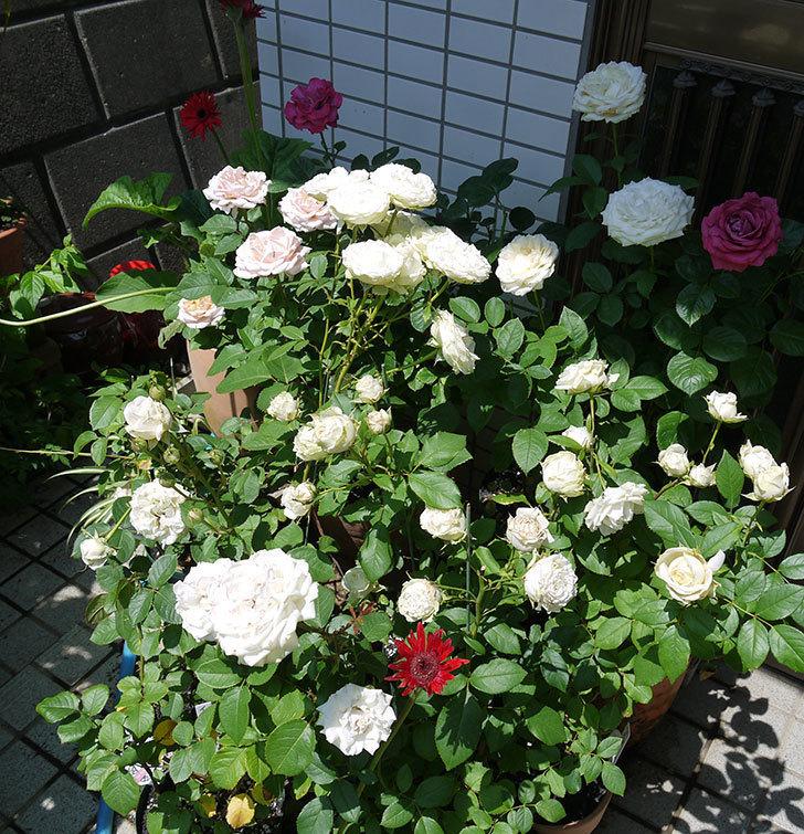 インフィニティローズ(ミニバラ)の花がたくさん咲いた。2017年-5.jpg