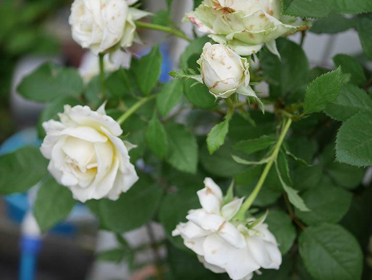 インフィニティローズ(ミニバラ)の花がたくさん咲いた。2019年-5.jpg