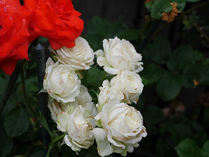インフィニティローズ(ミニバラ)の花がたくさん咲いた。2019年-7.jpg