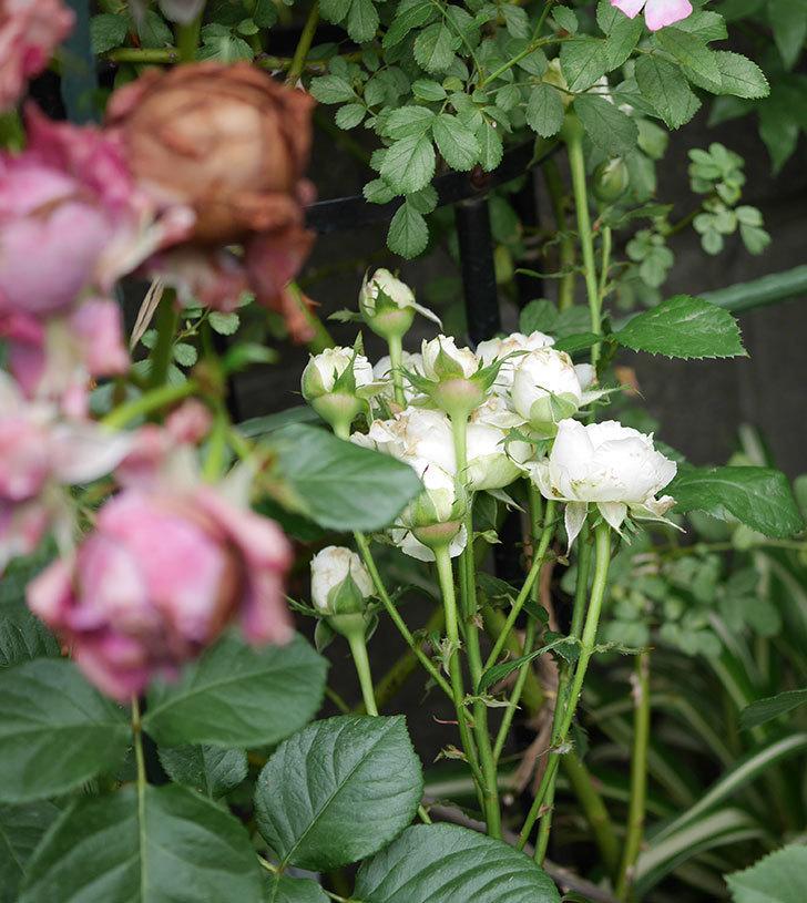 インフィニティローズ(ミニバラ)の花がたくさん咲いた。2019年-8.jpg