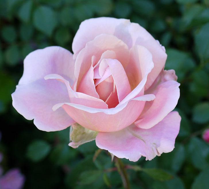 インフィニティローズ(ミニバラ)の花が咲いた。2017年-10.jpg