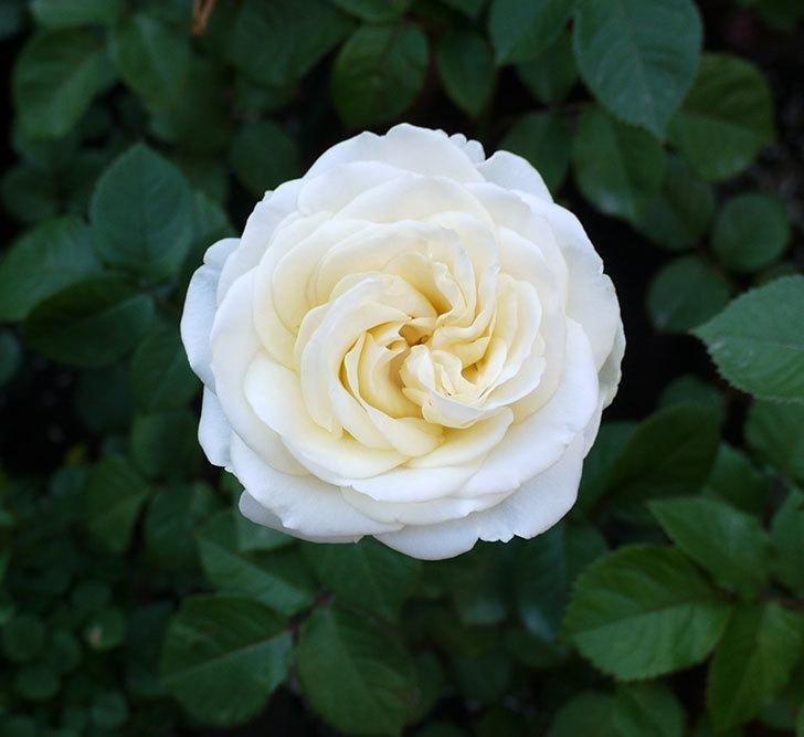 インフィニティローズ(ミニバラ)の花が咲いた。2017年-11.jpg