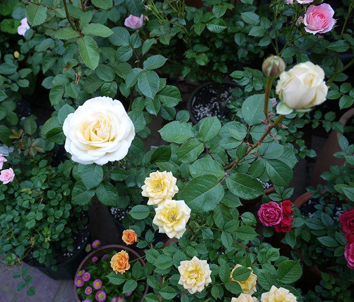 インフィニティローズ(ミニバラ)の花が咲いた。2017年-4.jpg