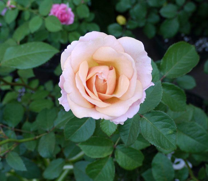 インフィニティローズ(ミニバラ)の花が咲いた。2017年-5.jpg