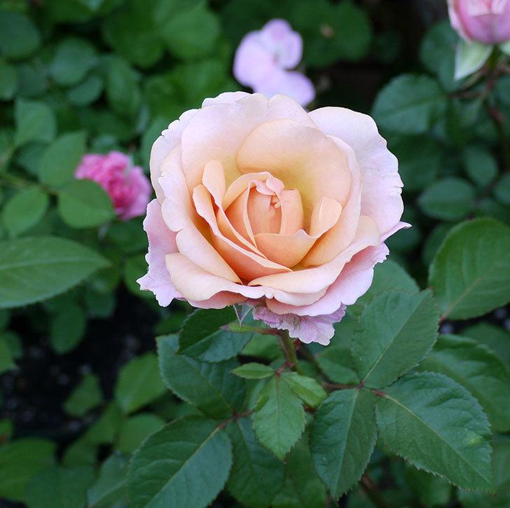 インフィニティローズ(ミニバラ)の花が咲いた。2017年-6.jpg