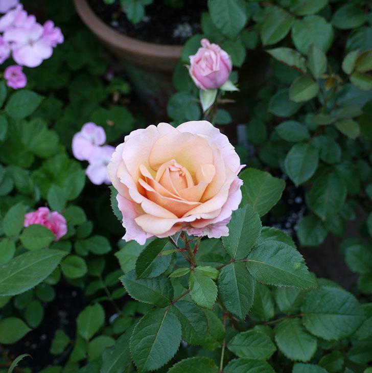 インフィニティローズ(ミニバラ)の花が咲いた。2017年-7.jpg