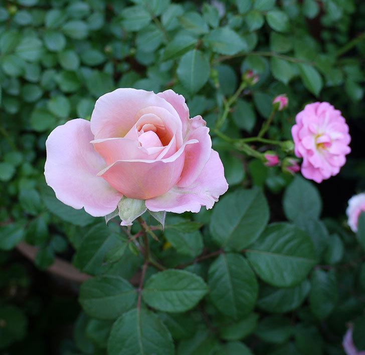 インフィニティローズ(ミニバラ)の花が咲いた。2017年-8.jpg